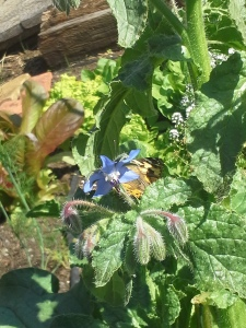 My giant borage plant is attracting lots of bees. buzz buzz buzz. And, butterflies.