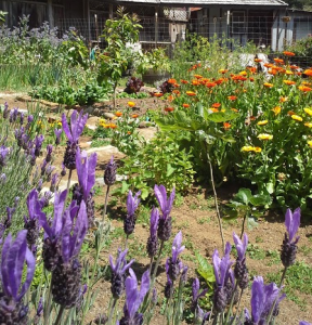 Lavender and calendula are pretty and useful additions to the garden.