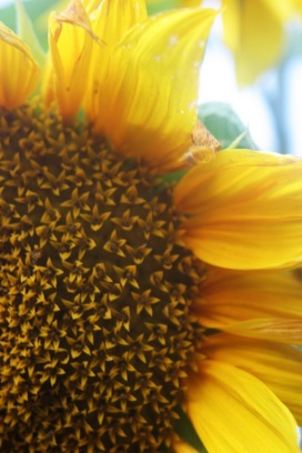 Everyone needs sunflowers in their gardens.