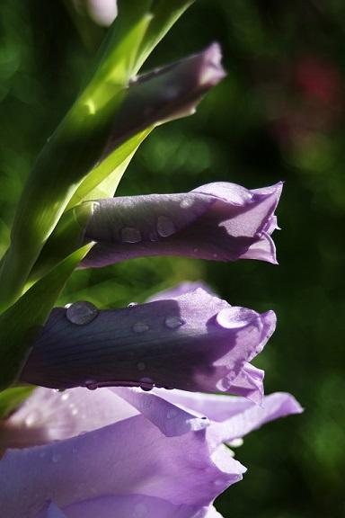 Look! Gladiolus!