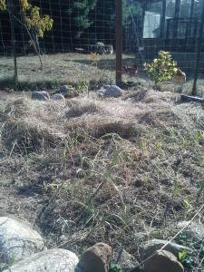 Onions and hay-covered garlic.