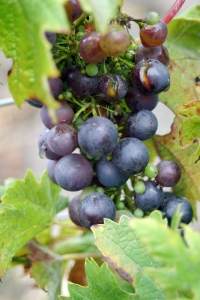 Second year zinfandel grapes.