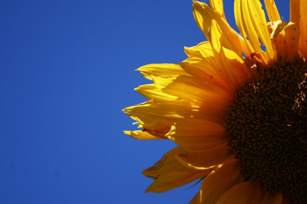 sunflower blue sky 2