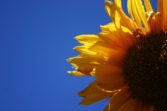 sunflower blue sky 2