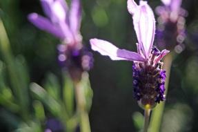 lavender2_smaller