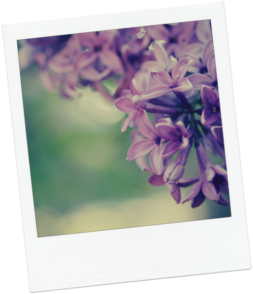 lilac3-for-blog
