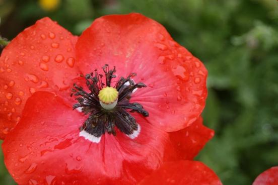 red poppy3