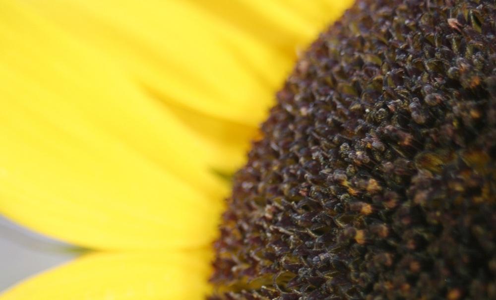 Sunflower_blog cover