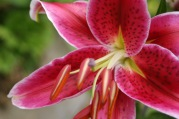 lily3