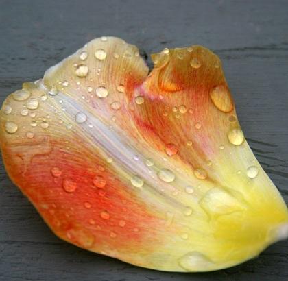 petal in rain 2_smaller