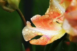 raindrops on tulips7_smaller