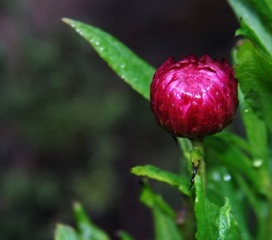 strawflower_smaller