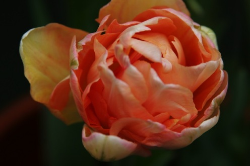 tulip2_smaller