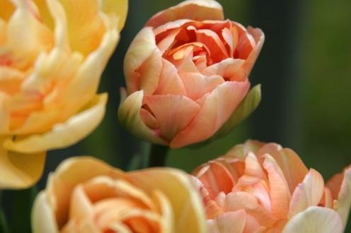 tulips 2_smaller