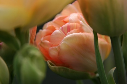 tulips4_smaller