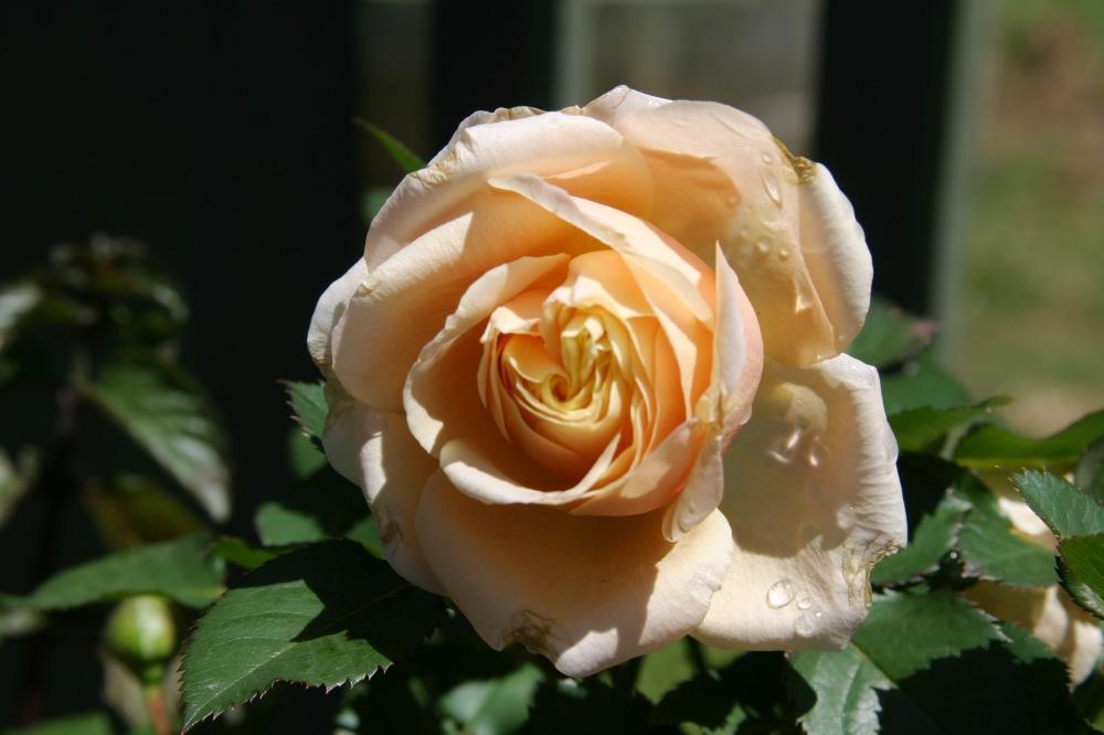 peach rose2