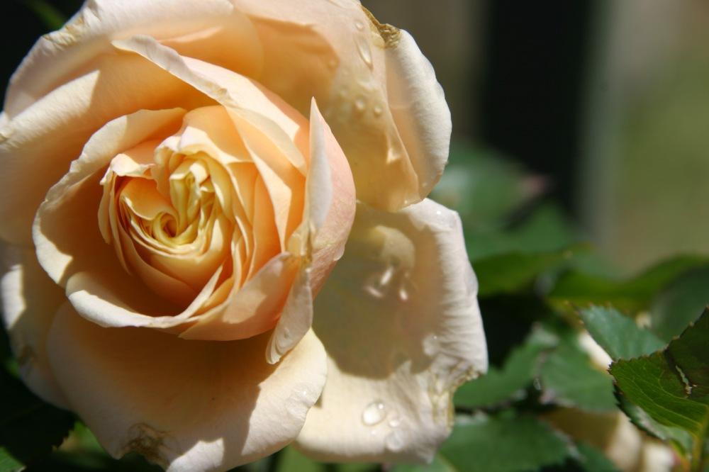 peach rose3