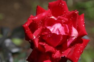 pink rose3