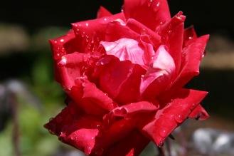 pink rose7