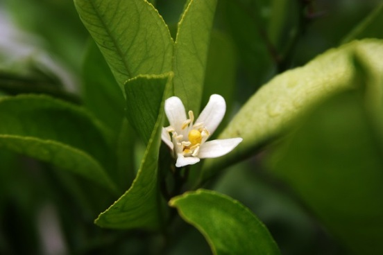 meyer lemon blossom_smaller