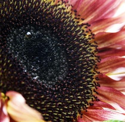 sunflower4_smaller