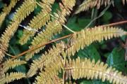 Brown fern 1
