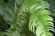 Curved fern 1
