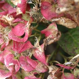 hydrangea13