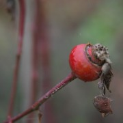 Rosehips_square
